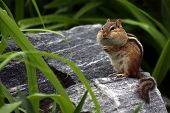 stock photo of full cheeks  - Closeup of a funny Chipmunk with very full cheeks.