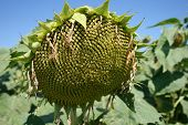 foto of heliotrope  - Image of ripe sunflower on a sunny day - JPG