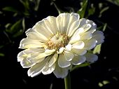 foto of zinnias  - Zinnia flowers beautiful flowers - JPG