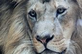 stock photo of glorious  - Close up portrait of beautiful african male lion