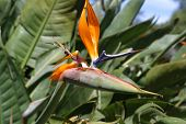 image of fynbos  - South African flower called the Strelitzia part of the Fynbos family - JPG