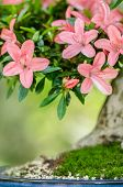 picture of bonsai  - Pink flowers on a satsuki azalea bonsai tree  - JPG
