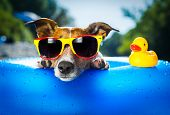 stock photo of sunny beach  - dog on blue air mattress in water refreshing - JPG
