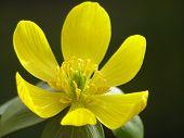 Yellow Winter Aconite