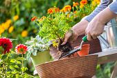 stock photo of shovel  - Gardeners hand planting flowers in pot with dirt or soil - JPG