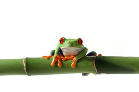 stock photo of red eye tree frog  - Closeup of a Red - JPG