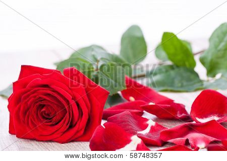 Beautiful Red Rose On White Bachground