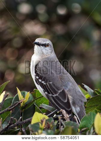 Northern Mockingbird I See You