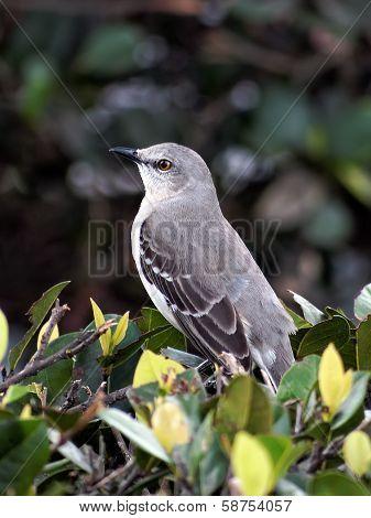 Portrait of a Northern Mockingbird