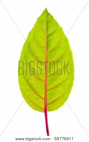 Green Leaf With Red Veins
