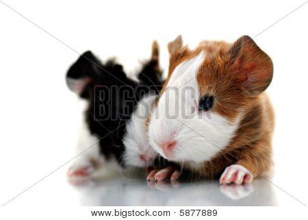 Newborn guinea pigs