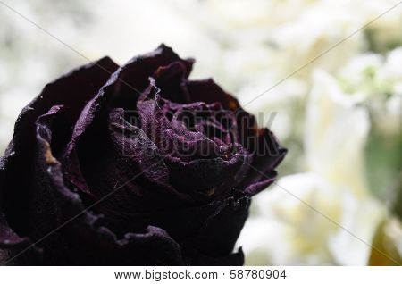 Purple Old Rose