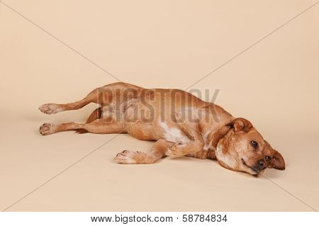 Cross breed dog laying at the cream colored floor