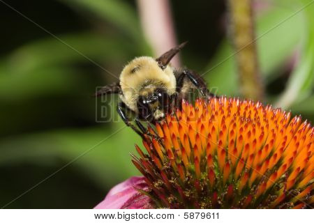 Golden Northern Bumblebee