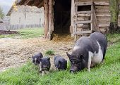 Pigs On Farm