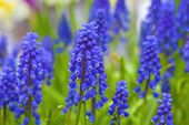 A muscari armeniacum flower or commonly known as grape hyacinth in a spring garden. poster