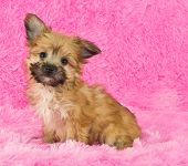 stock photo of yorkie  - A sweet little Yorki - JPG