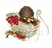 foto of newfoundland puppy  - Sweet little Newfoundland puppy sitting in a sled with red Christmas flowers on a white background - JPG