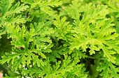 stock photo of citronella  - SCENTED GERANIUMS bush close up mosquitoes repellent
