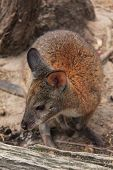 stock photo of wallaby  - Red wallaby in the bush on Sydney - JPG