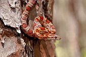 picture of tree snake  - A Corn Snake foraging in the bark of a pine tree. ** Note: Shallow depth of field - JPG