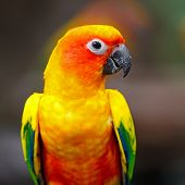 stock photo of sun perch  - Beautiful colorful parrot Sun Conure  - JPG