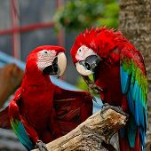 Greenwinged Macaw