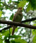stock photo of nightingale  - the nightingale sits on a branch of a tree  - JPG