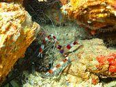 foto of cebu  - Underwater inhabitants of sea depths of strait Cebu, island Maktan, the small shrimp ** Note: Soft Focus at 100%, best at smaller sizes - JPG