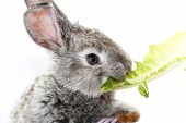 stock photo of romaine lettuce  - Cute gray rabbit eating the green romaine lettuce