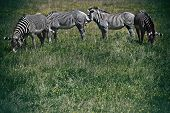 Endangered Grevy's zebras from northern Kenya