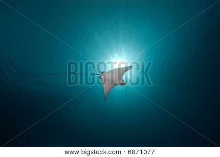 Spotted Eagle Ray (aetobatis Narinari)