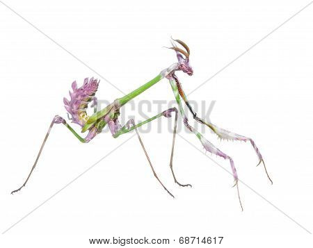 Dangerous Predator Mantis Insect Catches Prey