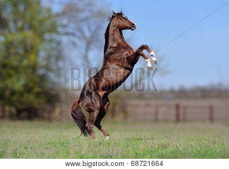 Beautiful stallion Thoroughbred breed, great-grandson of Secretariat Sports Meadow.
