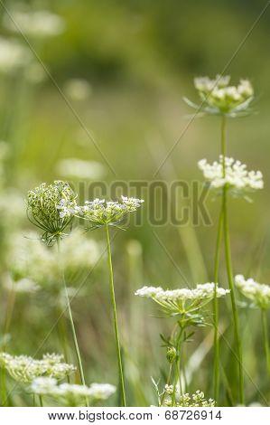 Daucus carota Flowers In Grassy Field.