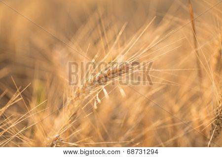 Close up of a wheat field