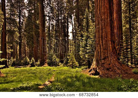 Redwood Forest 0118