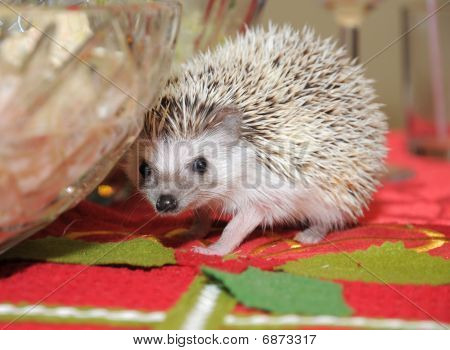Hedgehog Wandering On A Dining Table