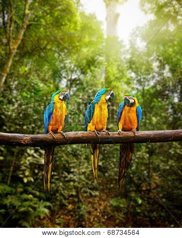 Exotic travel concept background - Blue-and-Yellow Macaw (Ara ararauna), also known as the Blue-and-Gold Macaw on branch in tropical forest