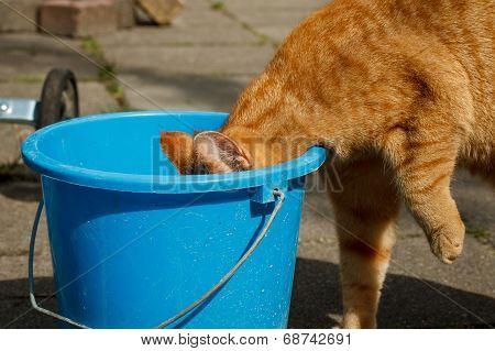 Cat Drinking From Bucket