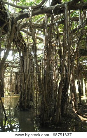 Banyan tree grove in Thailand