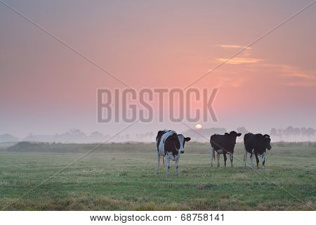 Cows On Pasture At Misty Sunrise