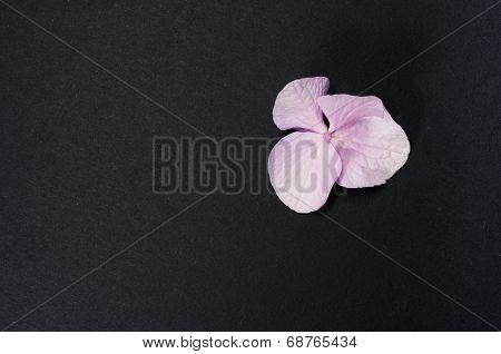 Hydrangea Hortensis Petals