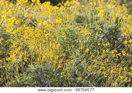 Dubai, UAE, Colourful yellow flowers in gardens at Creekside Park in Bur Dubai