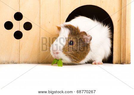 Guinea Pegs