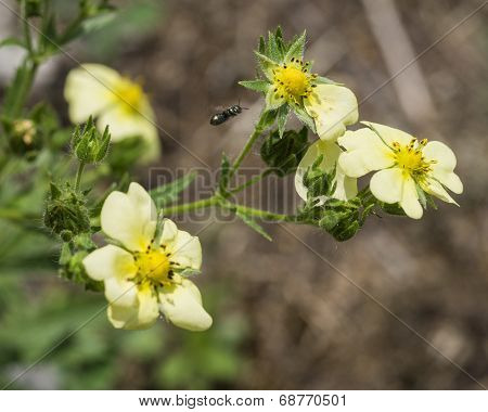 Insect Flying to Yellow Wildflowers. Upright Cinquefoil. Potentilla Recta.