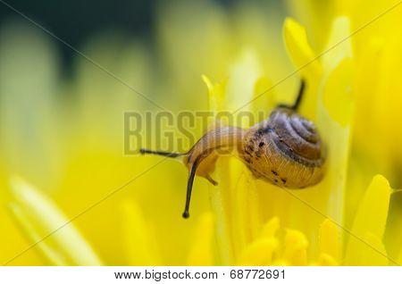 Close Up Snail On Yellow Chrysanthemum Flowers