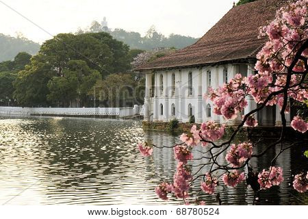 blooming cherry tree and Buddha, Kandy, Sri Lanka