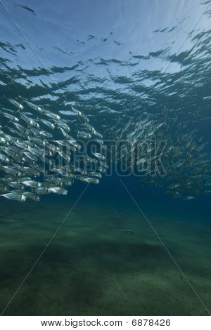 Striped Mackerel And Ocean