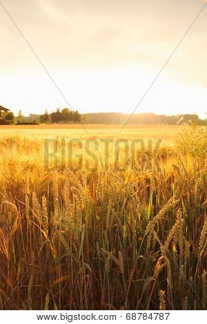 Ripe Wheat Ears On Field As Background
